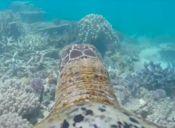 [Video] Mira el viaje de una tortuga marina que es parte de una campaña