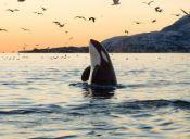 Impacto: Seaworld se compromete a no criar más orcas en cautiverio