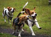 Animalistas ingleses piden acabar con la experimentación en los beagles