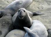 Los animales marinos con exceso de grasa no están a salvo de las enfermedades cadíacas