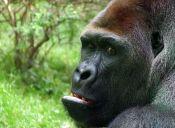 [Video] Mira la reacción de este gorila cuando fotos de hembras