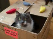 Una caja siempre va a ser el juguete favorito de tu gato