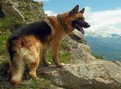 Enfermedades comunes en perros de razas grandes