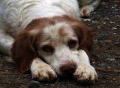 Trastorno de Autoinmunidad en perros: cuando sus propias defensas los atacan.