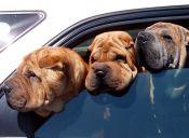 Más adorable, imposible: 5 razones para amar a un perro arrugado