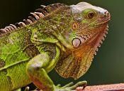 Cómo aprendí a cuidar a mi Iguana