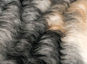Cornish rex: un gato elegante de poco pelo