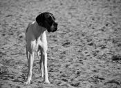 10 razas de perros gigantes