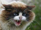 Estas enfermedades podrían atacar la piel de tu gato