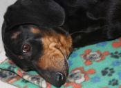 Las enfermedades más frecuentes en la piel de los perros
