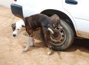 ¿Cómo ayudar a mi perro si tiene cálculos urinarios?