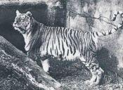 Animales Extintos: El Tigre de Bali