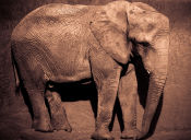 Matan al elefante más grande de África y envenenan a otros 26