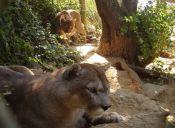 Animal en Peligro de Extinción: Puma Chileno
