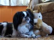 Factores a tomar en cuenta cuando se tiene un perro enano o
