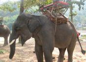 El cruel entrenamiento de elefantes de paseo en Asia