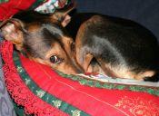 Perros traviesos que no recibirán regalo esta navidad