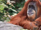 La Extracción de Aceite de Palma es Fatal para los Orangutanes