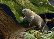Animales que no creerás que existen: Tardígrados, los increíbles Osos de Agua.