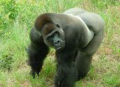 Descubren a dos gorilas desmantelando trampas