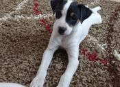 7 motivos para amar a mi Terrier Chileno