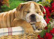 10 perritos durmiendo en las posiciones más adorables