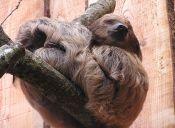 ¿Son realmente flojos los perezosos?