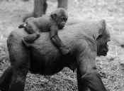 Mamás del reino animal con sus crías a cuestas