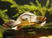 Animales que no creerás que existen: Tortuga nariz de puerco