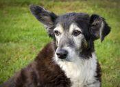 Limpieza de orejas y oídos en perros