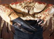 Animales que no creerás que existen: Cangrejo gigante de Tasmania