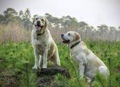 10 razones por las que es bueno tener un Labrador
