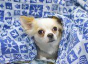 10 razones por las que es bueno tener un Chihuahua