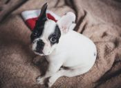 10 razones por las que es bueno tener un bulldog francés