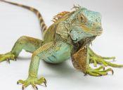 Tener una iguana como mascota te cambia la vida