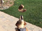 Fritz, el perro que no sabe atrapar comida en el aire