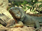 10 tips para mantener impecable a tu iguana