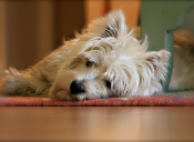 Sólo para valientes: El West Highland White Terrier