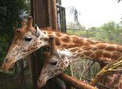 ¿Te imaginas un hotel donde puedas convivir con jirafas?