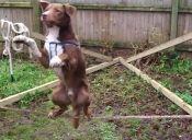 Video: Perrito equilibrista impresiona en la web con su talento