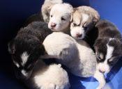 ¿Puede una perrita embarazarse de dos perros diferentes a la vez?