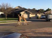 Video de canguros boxeadores es furor en las redes sociales