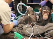 Bebé chimpancé se resiste a abandonar a su madre mientras era sometida a una cirugía