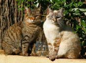 ¿Por qué los gatos prefieren una voz femenina?