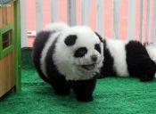 Circo italiano teñía a perros para hacerlos pasar por osos pandas