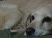 Brucelosis canina: ¿Qué es y cómo tratarla?