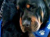 La desgarradora despedida de un perrito a su hermano fallecido