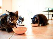 Cómo alimentar a los gatos dependiendo de su etapa de crecimiento