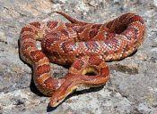 Exóticos: serpientes domésticas