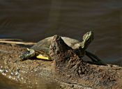 Buscan a tortuga Josefa por toda Antofagasta